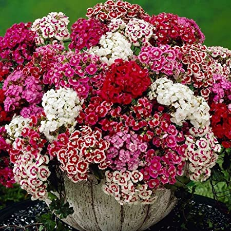 USA FASTSHIP SWEET WILLIAM PINK GROUNDCOVER MIX DIANTHUS FLOWER SEEDS 100
