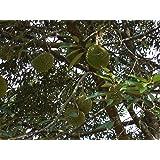 Durianbaum Durio zibethinus Zibetbaum Pflanze 20cm selten essbare Früchte Durian