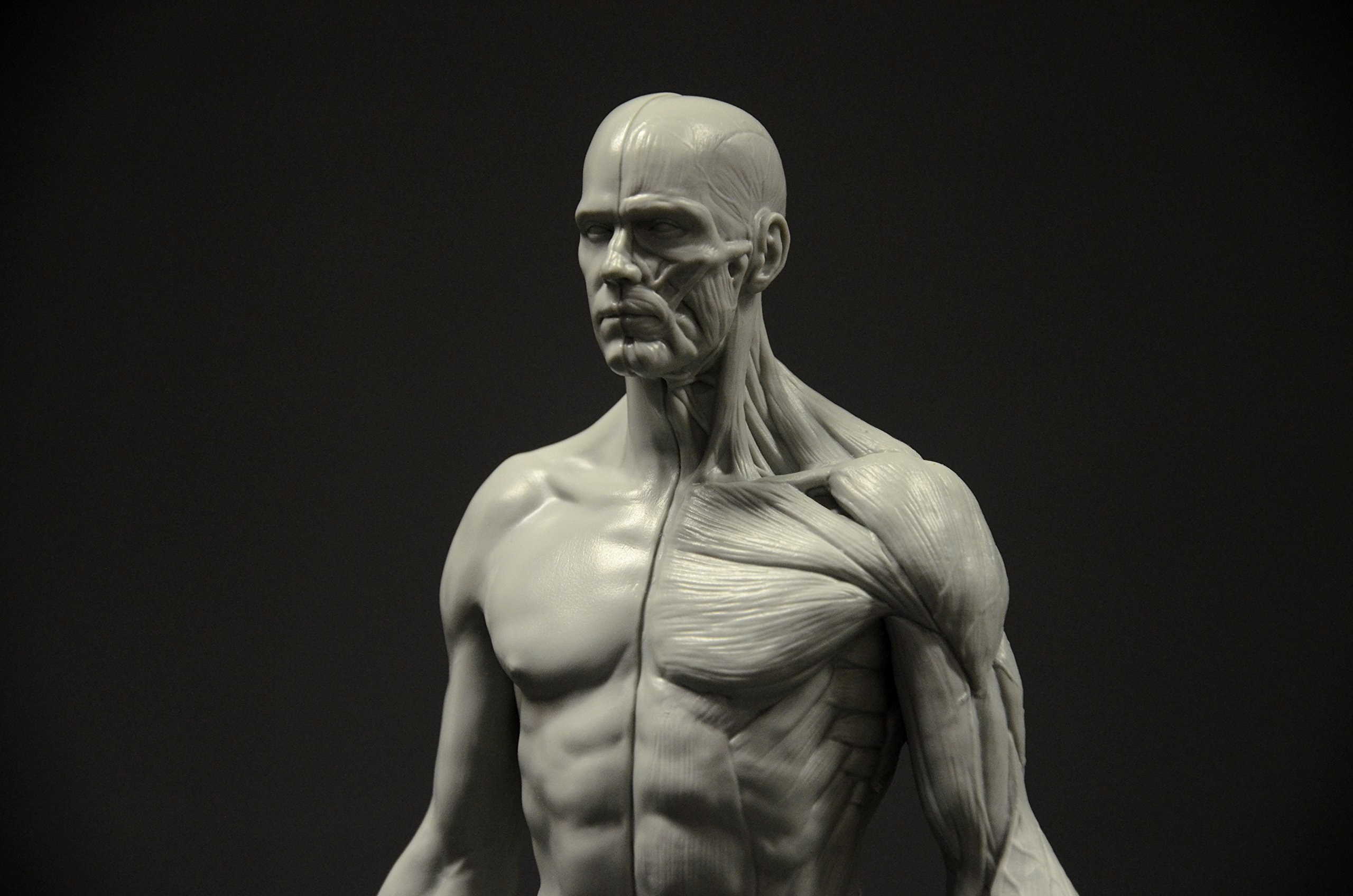 Male Anatomy Figure: 11-inch Anatomical Reference for