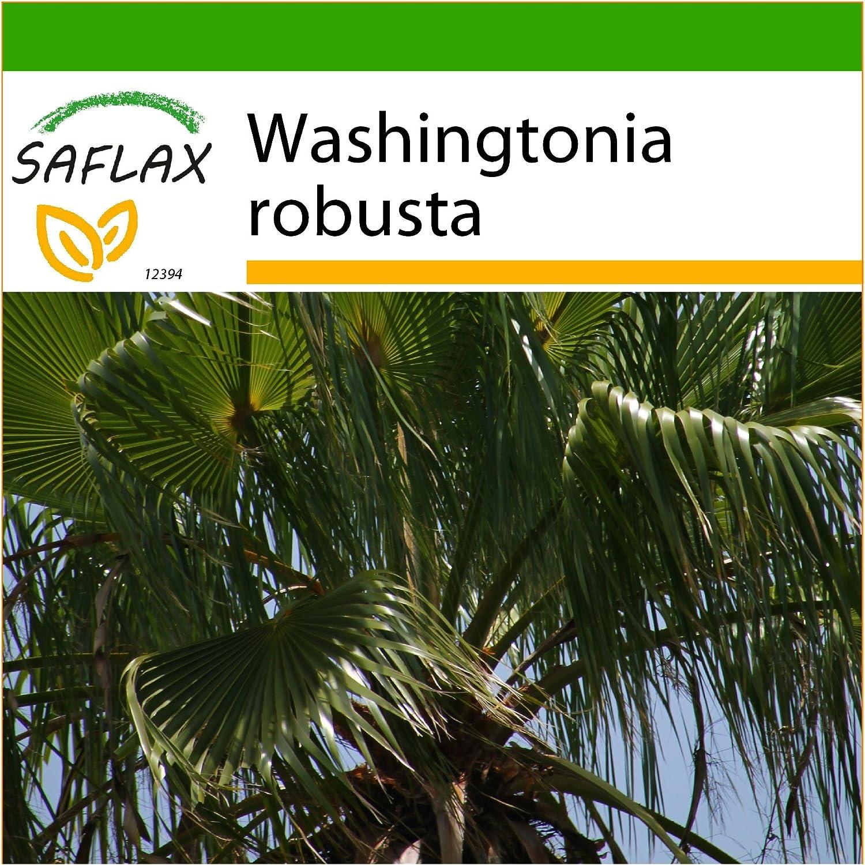 SAFLAX - Palma de California - 12 semillas - Con sustrato estéril para cultivo - Washingtonia robusta