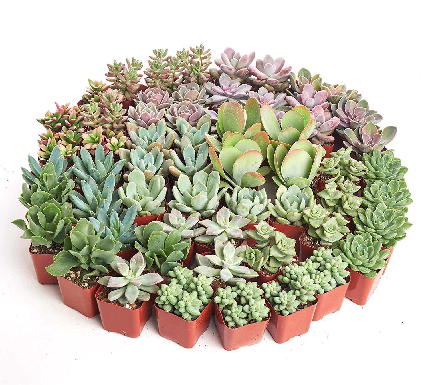 Shop Succulents| Premium Pastel Collection of LiveSucculent Plants, Hand Selected Variety Pack of Mini Succulents | Collection of 140 in 2'' pots by Shop Succulents (Image #4)