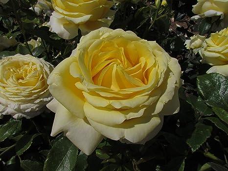 SPECIAL ANNIVERSARY Fragrant Pink 4lt Potted Hybrid Tea Garden Bush Rose