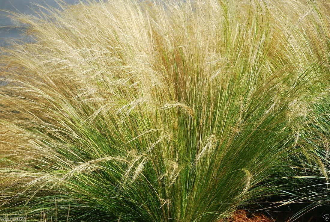 100 Graines Stipa Tenuissima Grass Mexican Feather Grass Seeds