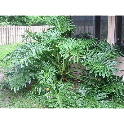 20 Seeds Philodendron selloum Dwarf Splitleaf Philodendron Tropical Shrubs Garden tkgre : Garden & Outdoor