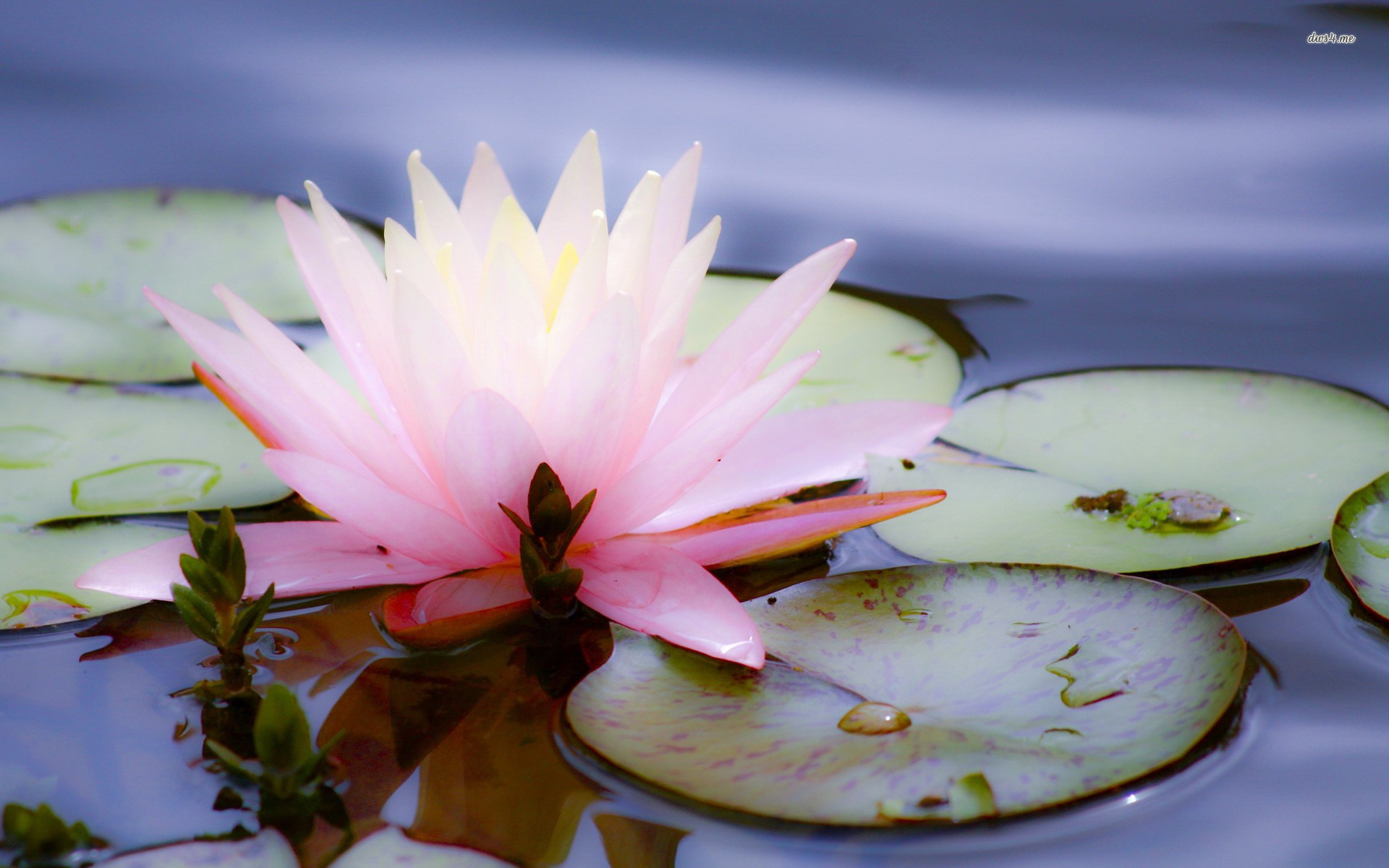 Amazon lotus flower live wallpaper appstore for android mightylinksfo