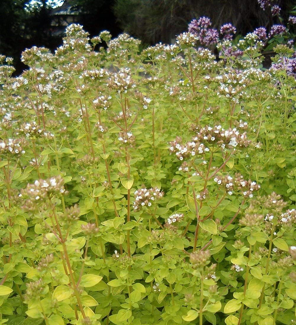 Golden Oregano Marjoram Herb – Good Scents Good Groundcover – 4.33 Pot