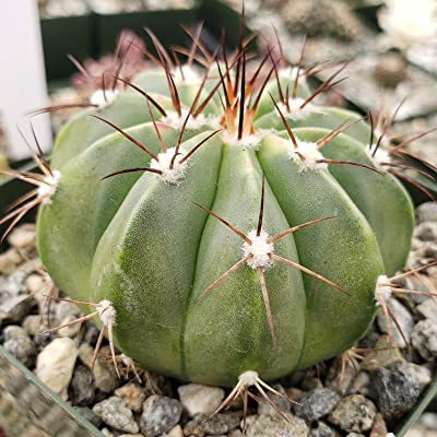 Melocactus caesius Cactus Cacti Succulent Real Live Plant : Garden & Outdoor