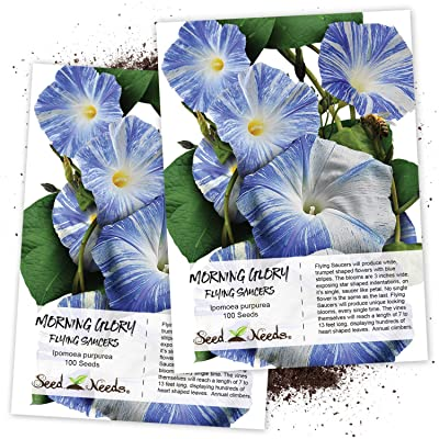 Seed Needs, Flying Saucers Morning Glory (Ipomoea Tricolor) Twin Pack of 100 Seeds Each Untreated : Morning Glory Plants : Garden & Outdoor