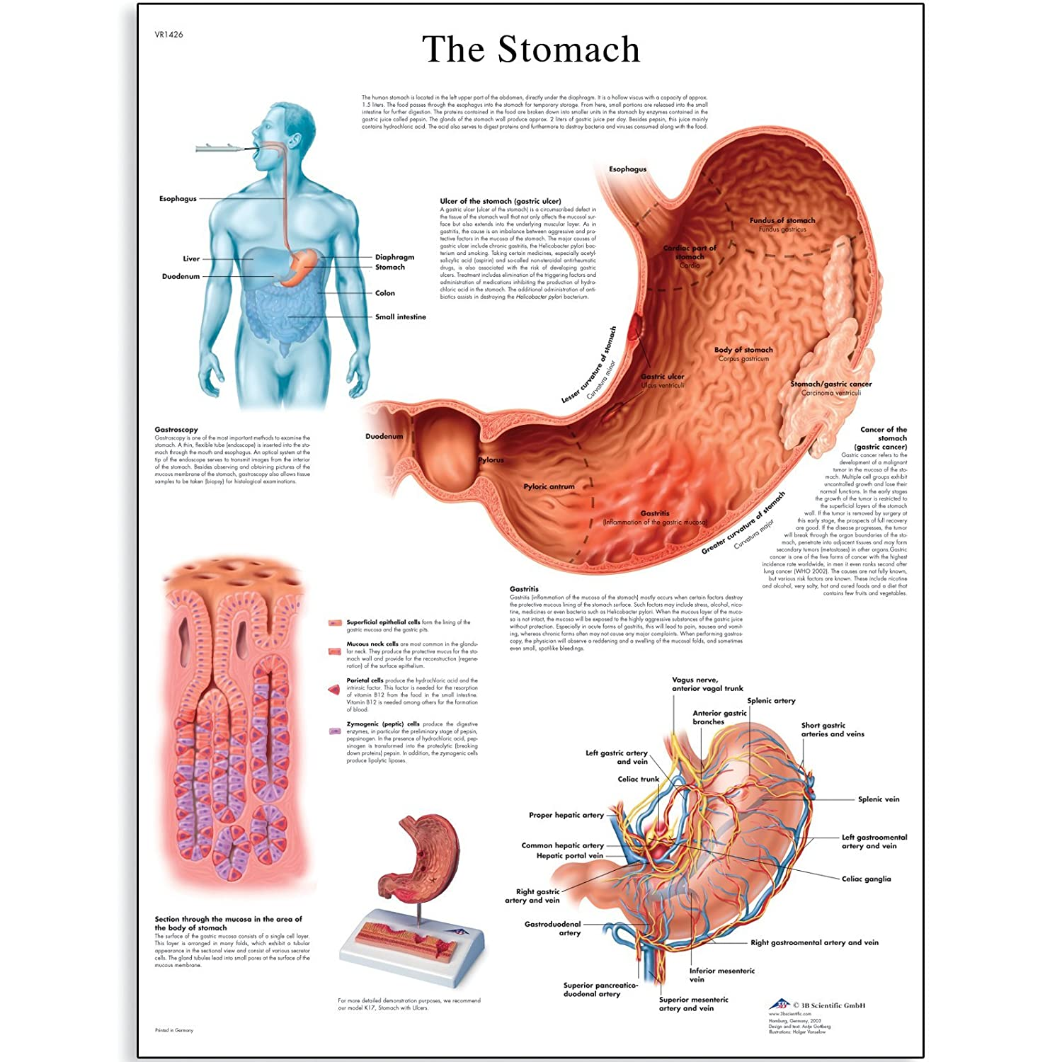 3b Scientific Vr1426l Glossy Laminated Paper The Stomach Anatomical
