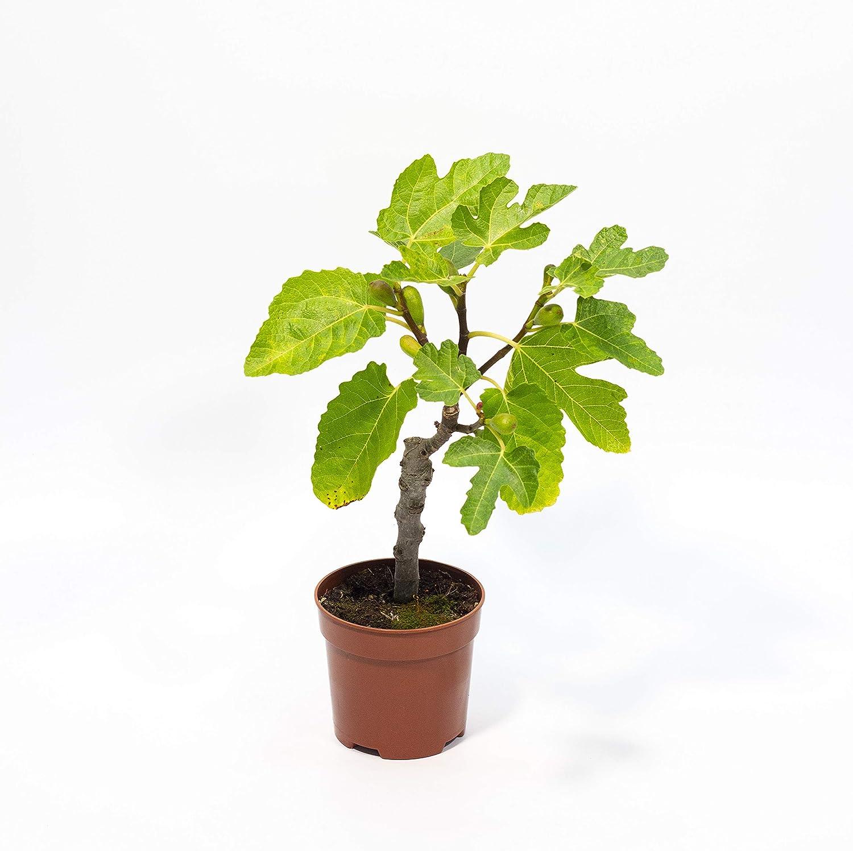 HIGUERA miniatura tipo Bonsai - PLANTA VIVA en maceta de 14 cm