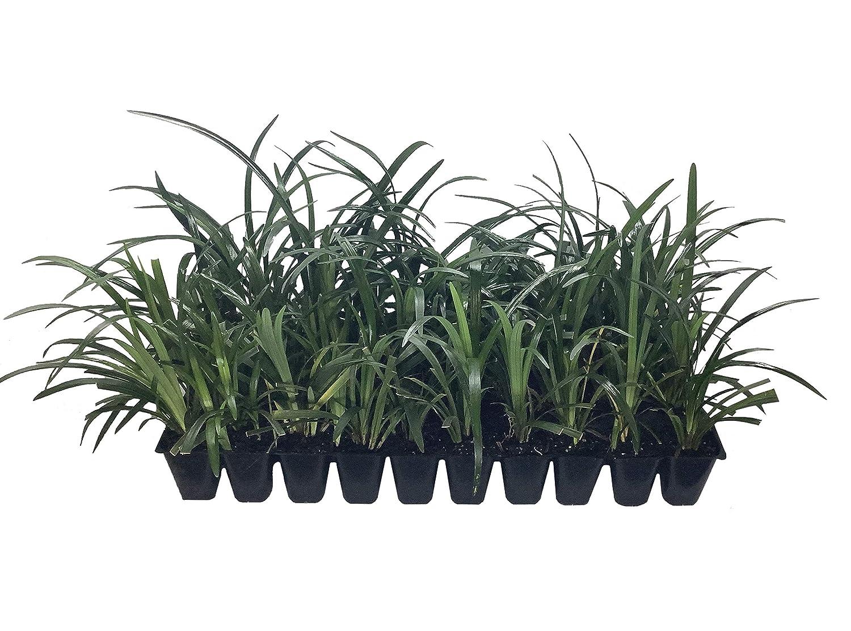 Amazoncom Super Blue Liriope Qty 40 Live Plants Ground Cover