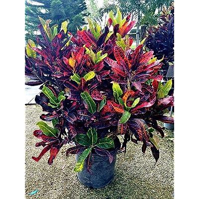Codiaeum variegatum 'Congo', Croton - 7 Gallon Live Plant : Garden & Outdoor