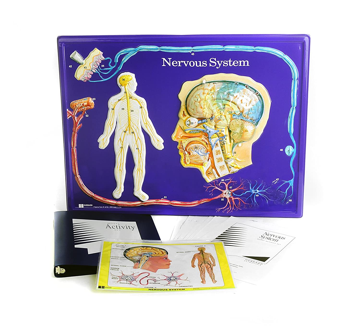 nervous system model and activties