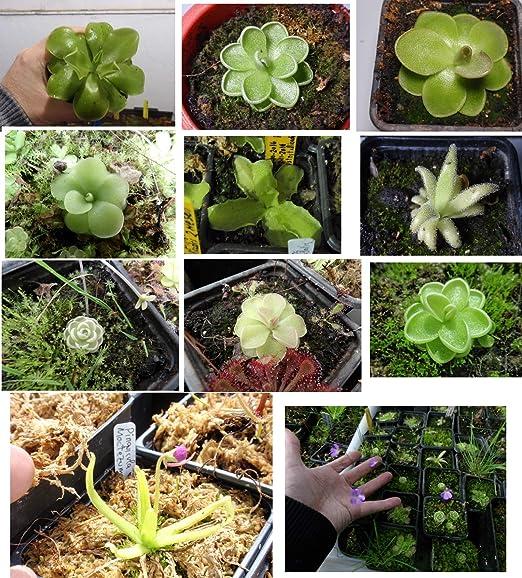 Semillas plantas carnívoras mix Drosera: Amazon.es: Jardín