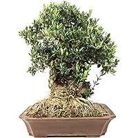 Bloom Green Co. ¡Promoción! 20 Unids Raro Olivo Bonsai de Olivo (Olea Europaea) Mini Planta de Ãrbol Para Jardín en Casa…