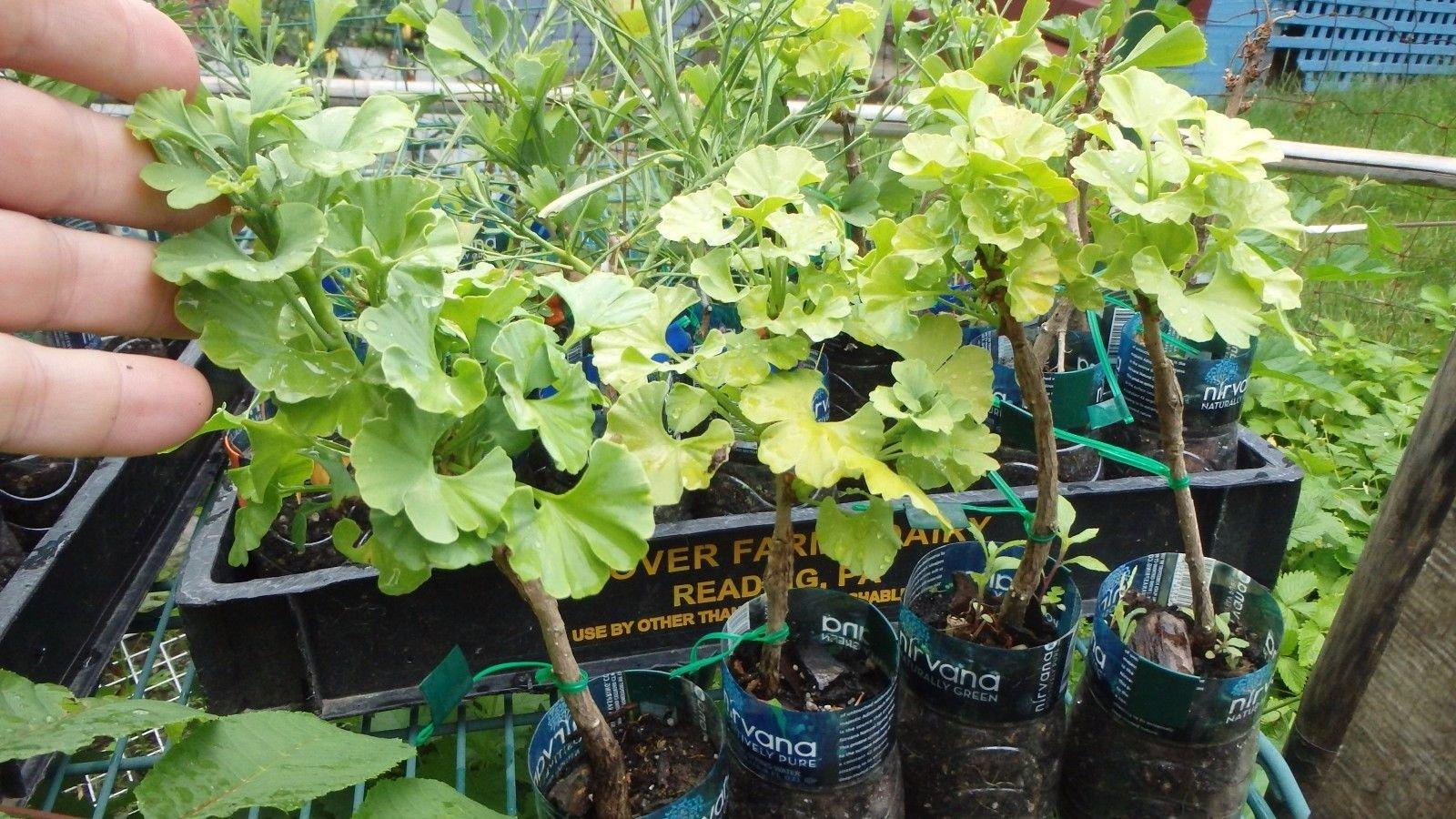 Male Ginkgo biloba''Everton Broom'' Dwarf grafted Tree 2 Year Old