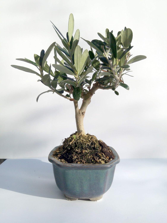 Miniature Bonsai Olive Tree 5 Year Old Plant Amazon Ca Patio Lawn Garden