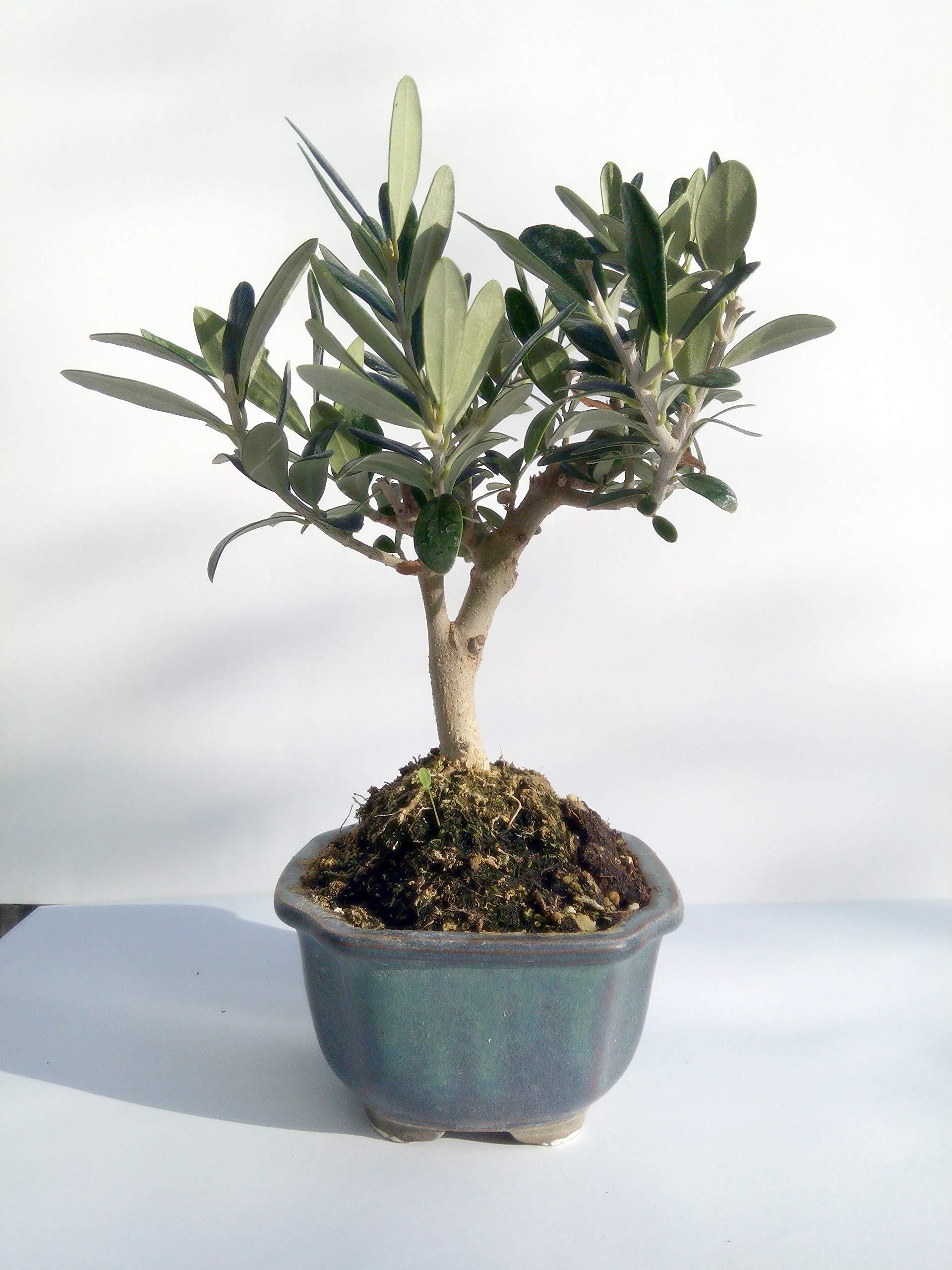 Miniature Bonsai - Olive Tree - 5 Year Old Plant