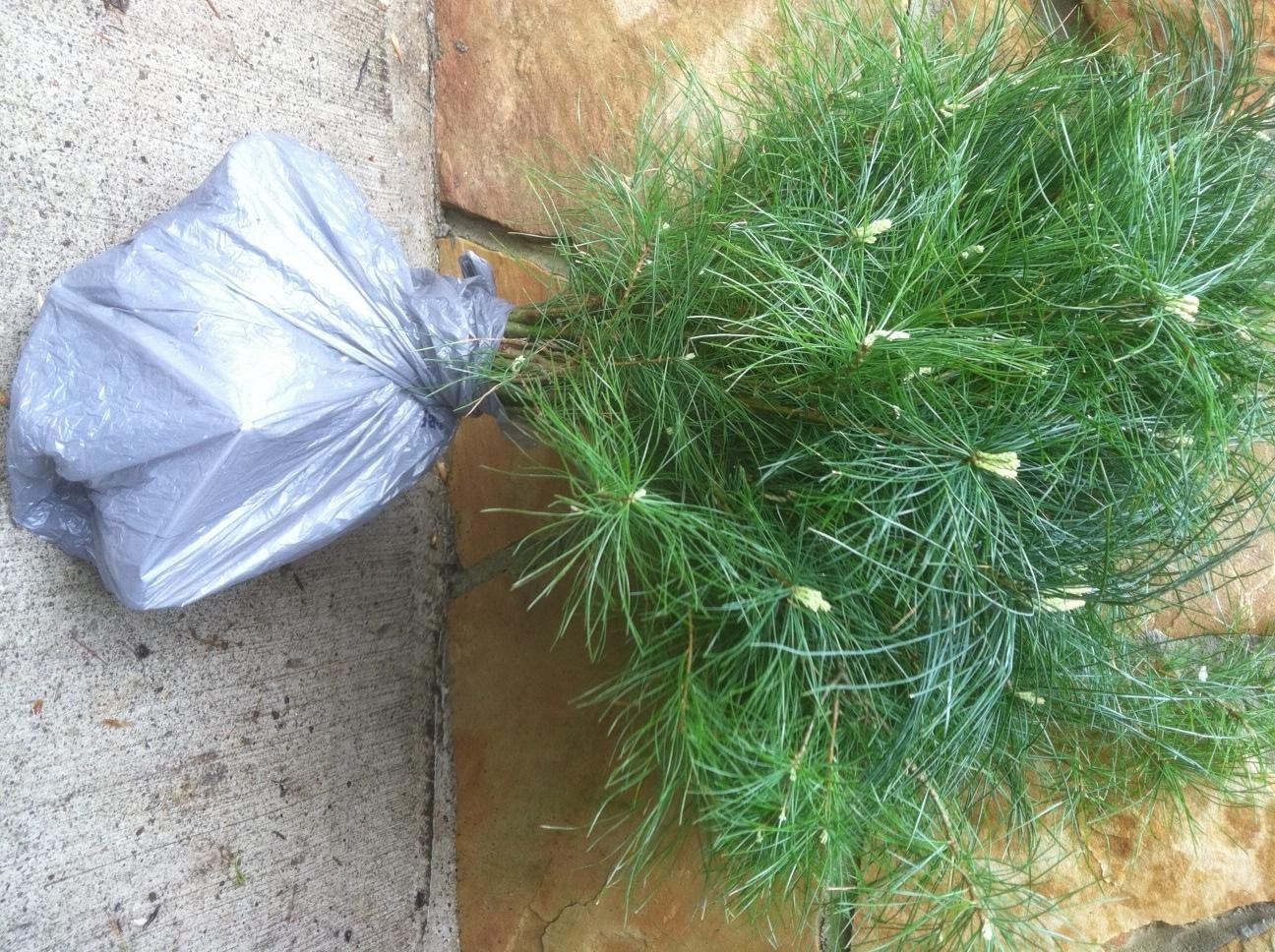 QTY-10 eastern white pine starter trees 36inch evergreen transplant seedlings #HSE