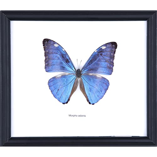 Framed Taxidermy Butterflies: Amazon.co.uk
