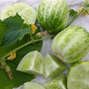 Richmond Green Apple Cucumber Seeds - 5+ Rare Heirloom Seeds in FROZEN SEED CAPSULES for The Gardener & Rare Seeds Collector Cucumber Seeds - Plant Seeds Now or Save Seeds for Years
