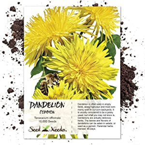 Seed Needs, Dandelion Herb (Taraxacum officinale) 10,000 Seeds Non-GMO
