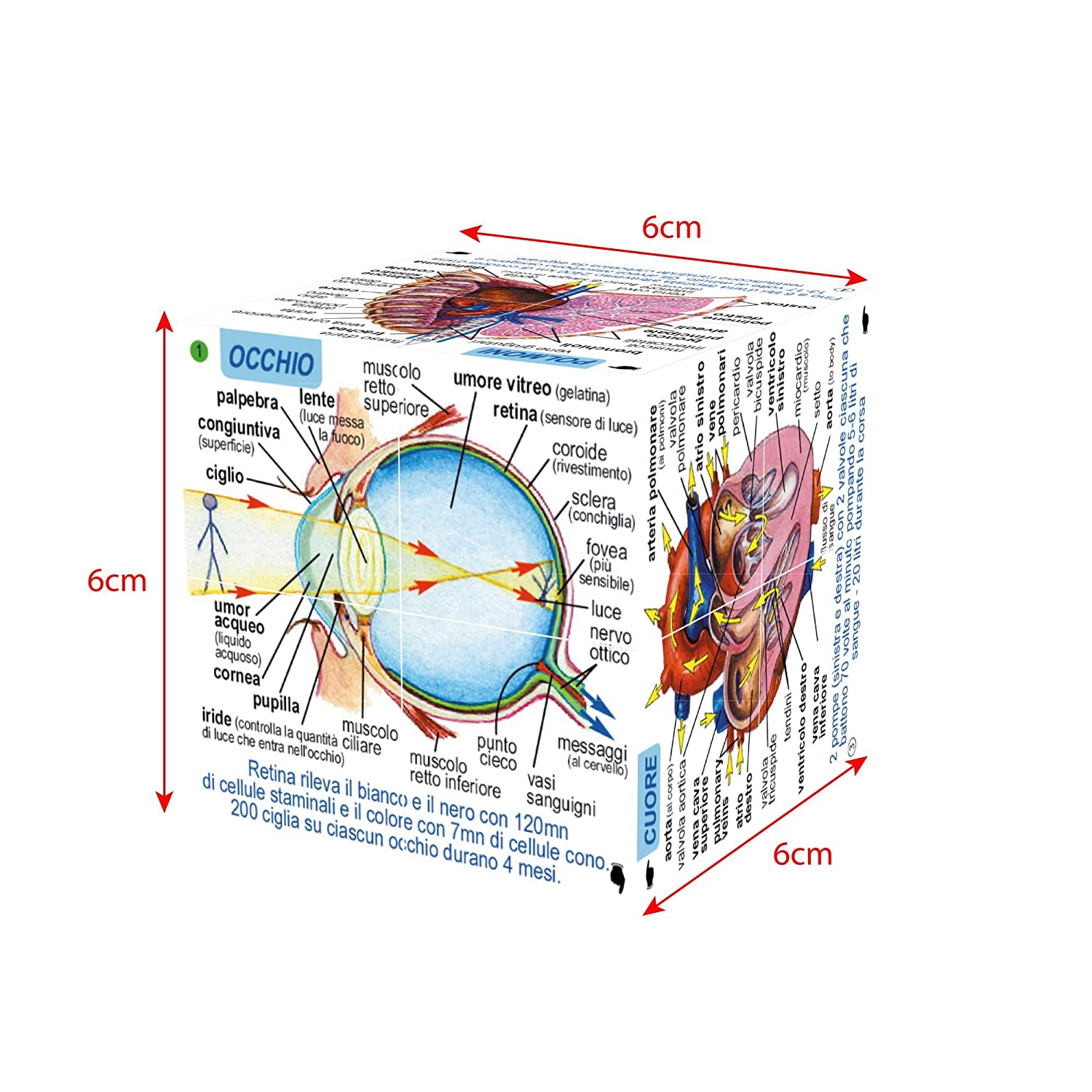 Amazon Zoobookoo Human Body Systems And Statistics Cube Book