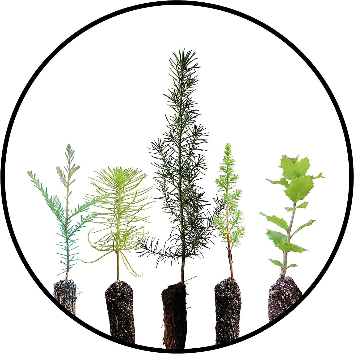 Trees of Monterey | Collection of 5 Live Tree Seedlings | The Jonsteen Company