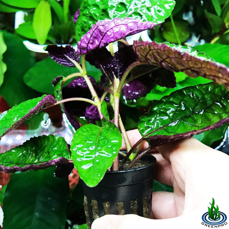 Amazon Com Greenpro Hemigraphis Colorata Exotica Purple Live