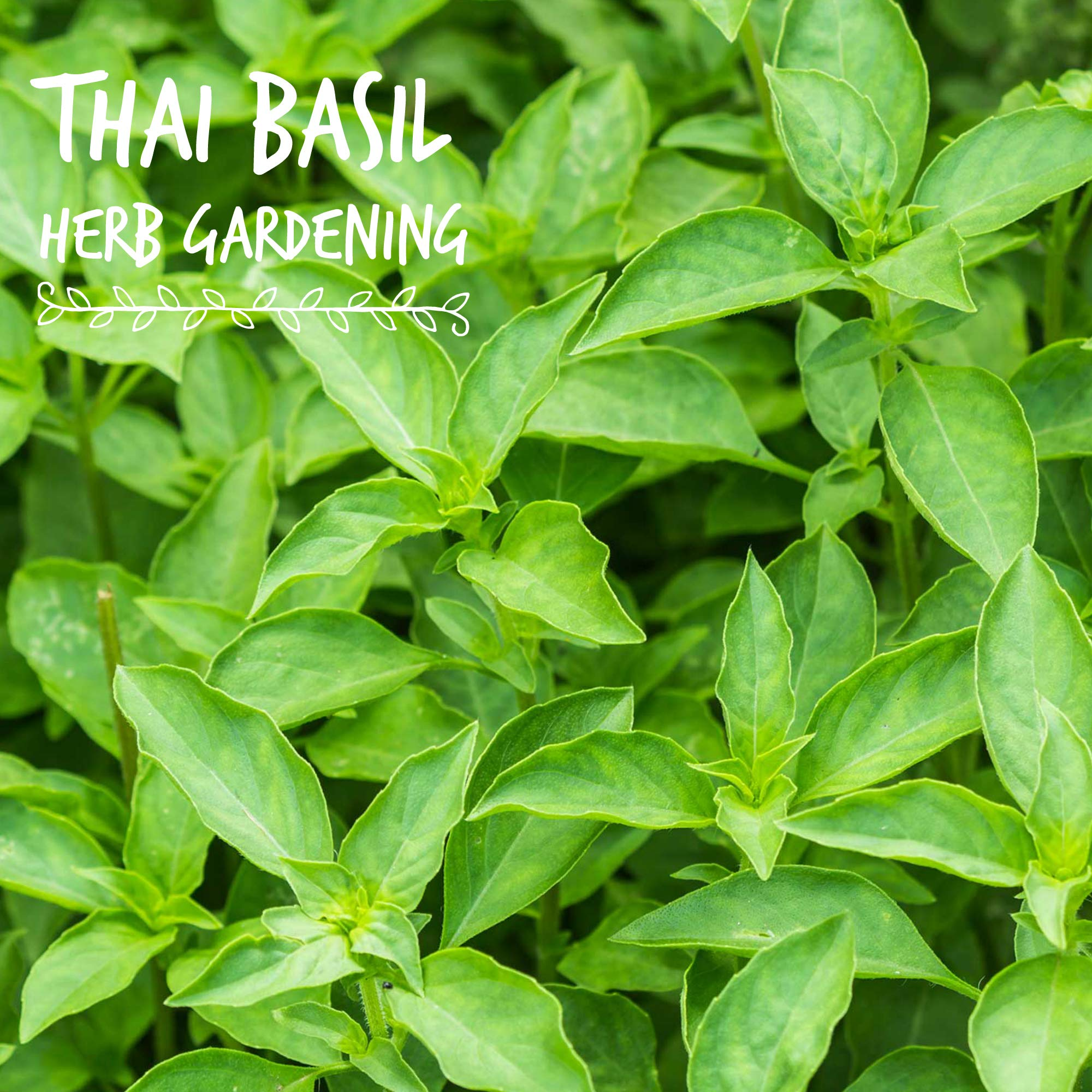 Thai Basil Seeds - Bulk Herb Seeds for Growing Microgreens, Indoor Gardening: Micro Greens Salad (1 Lb) by Mountain Valley Seed Company (Image #2)