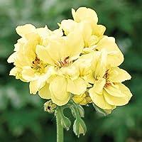 Geranio, primer Yellow.one de los más difíciles colores para obtener semillas En Geranium.flower Para el hogar Garden…