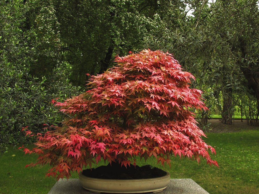 Japanese Red Maple Tree - Live Plant Shipped 2-3 Feet Tall (No California)