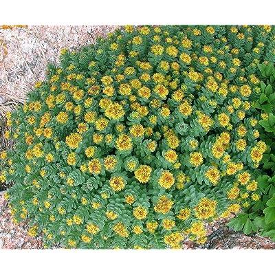 Sedum RHODIOLA rosea, Herb Seeds, Rose Root, Golden Root (40 Seeds) RSL : Garden & Outdoor