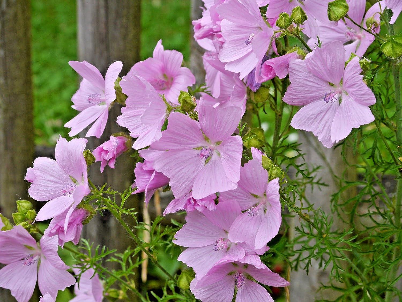 Amazon Pink Musk Mallow 109 Seeds Masses Of Pretty Pink