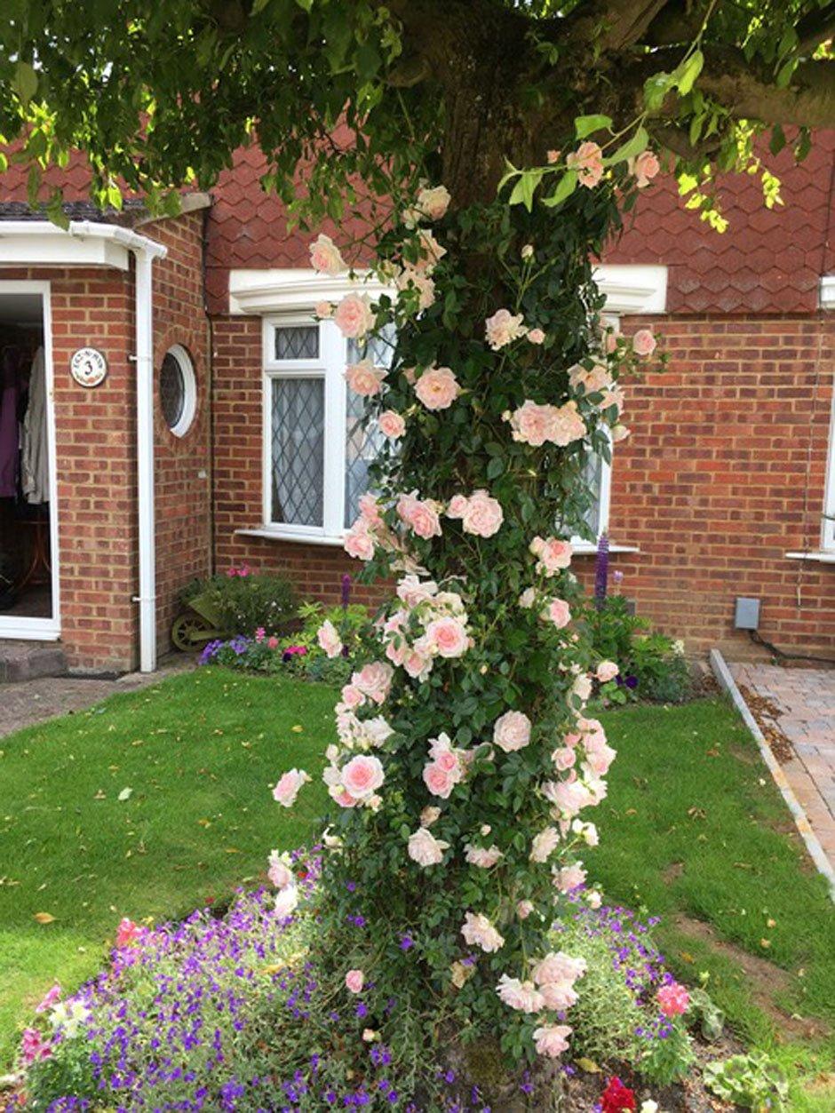 FAIR EVA - 5.5lt Potted Rambling Garden Rose - Repeat Flowering, Pale Pink Blooms
