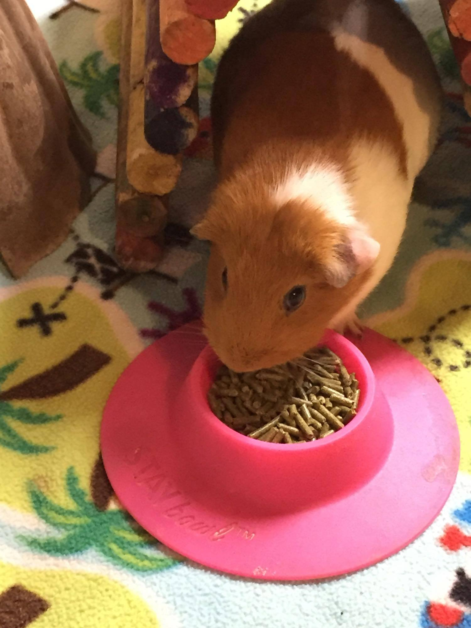 STAYbowl® Tip-Proof Ergonomic Pet Bowl for Guinea Pig and Other Small Pets, 1/4-Cup Small Size, Fuchsia (Pink)