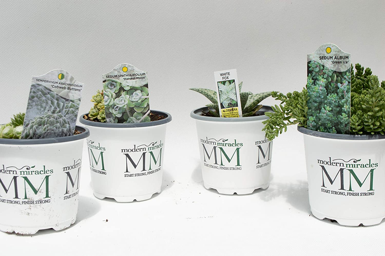 Amazon.com: Succulents - Juego de 4 macetas (4,25