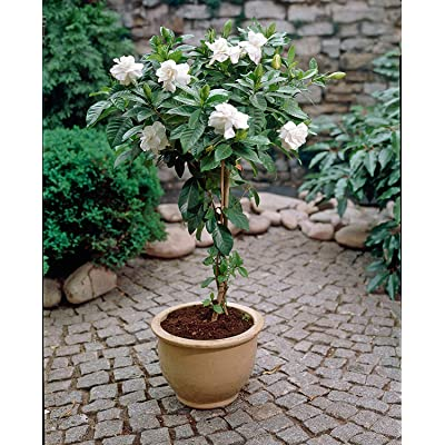 (2 Gallon) August Beauty Gardenia,Intense Fragrance, prolifoc Bloomer, Silky White Flowers,Evergreen, Long Blooming Season,: Garden & Outdoor