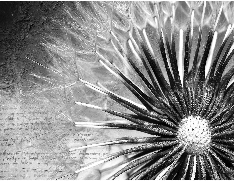 Pusteblume bl/ühende Pflanze Natur Bl/ätter Bl/üten Blumen Bl/ütenblatt Blumenmuster Floristik Smart 50 x 175 cm K/üchenr/ückwand Panorama selbstklebend Hochglanz