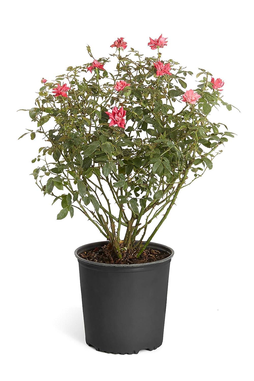 5f67935803e8 Amazon.com   Double Knock Out Rose Bush- Large