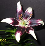 "Lilie - Lilium asiatic"" Netty`s Pride"""