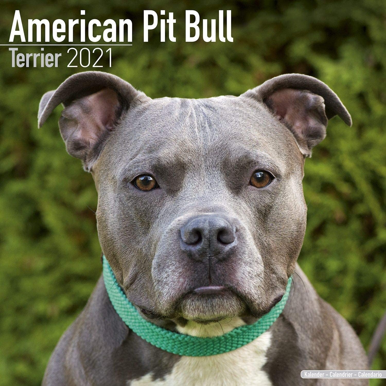 Amazon.com: American Pit Bull Terrier Calendar 2021   Dog Breed