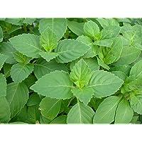 500seed Semillas de albahaca santa, la albahaca santa, una hierba nativa de la India, donde es conocido como Tulsi!
