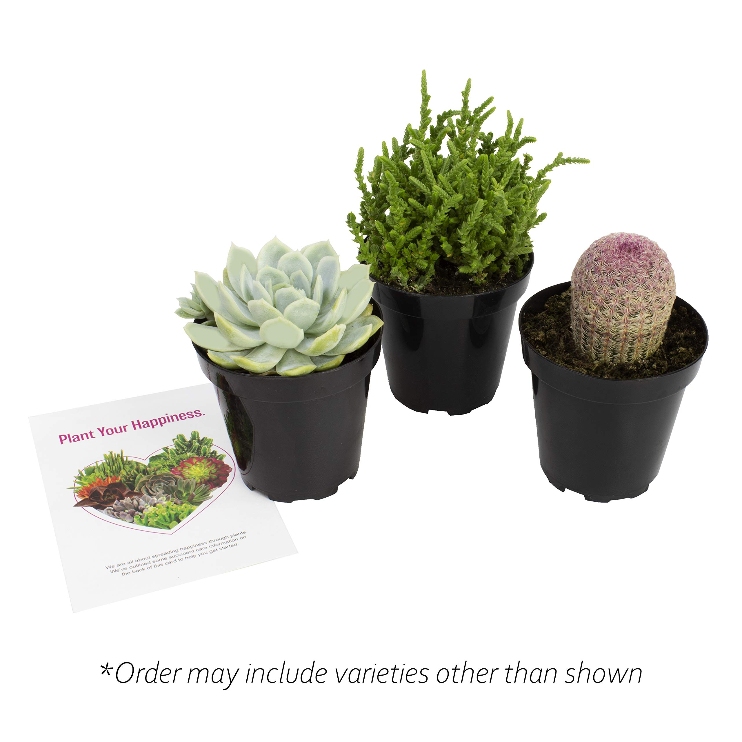 Altman Plants Assorted Live Succulents Fairy Garden Collection Colorful large plants for DIY terrariums and planters, 3.5'', 3 Pack