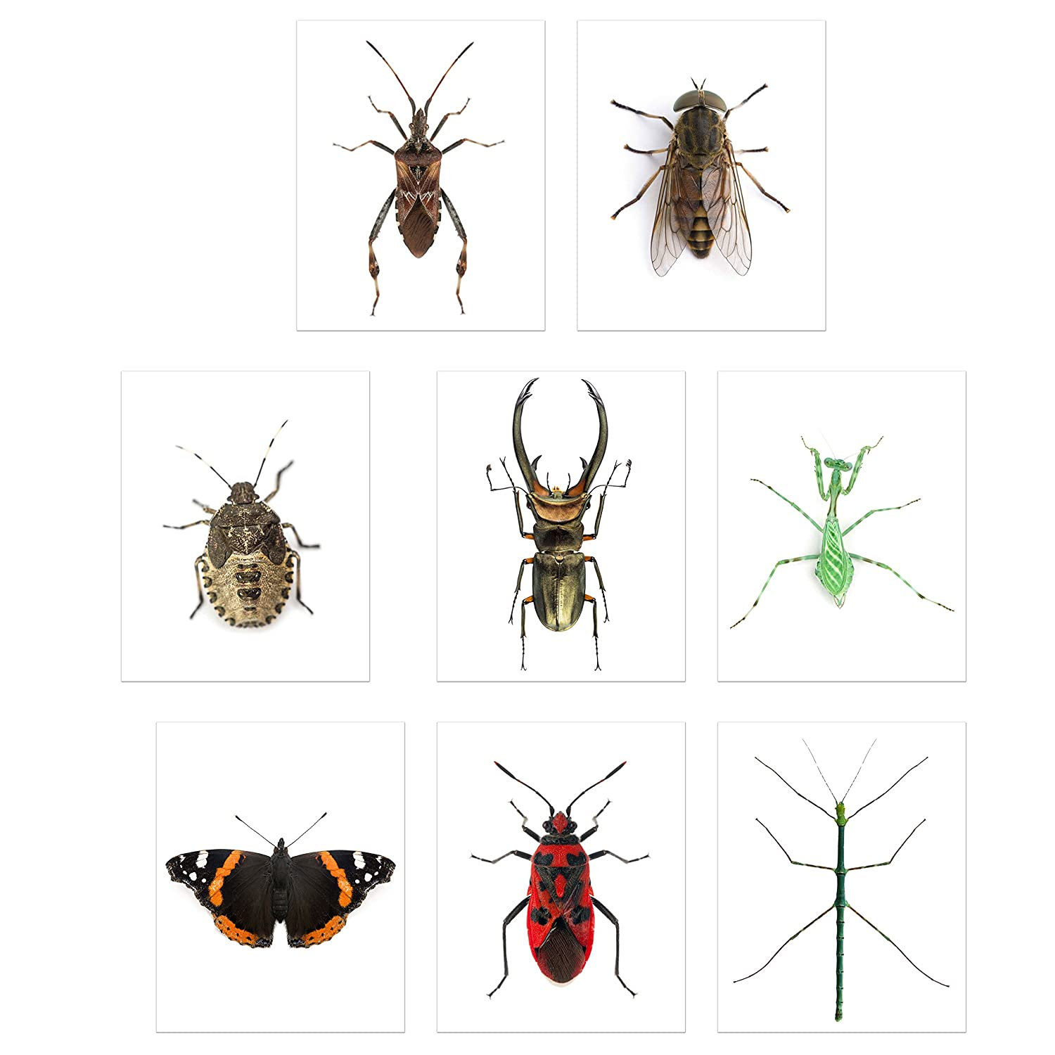 Faux Bug Collection Prints - Set of 8 (8x10) Cruelty-Free Photographs of Insects Wall Art Decor - Stick Bug - Cyclommatus Elaphus (Beetle) - Giant Horse Fly - Red Admiral Butterfly - Pinstripe Mantis
