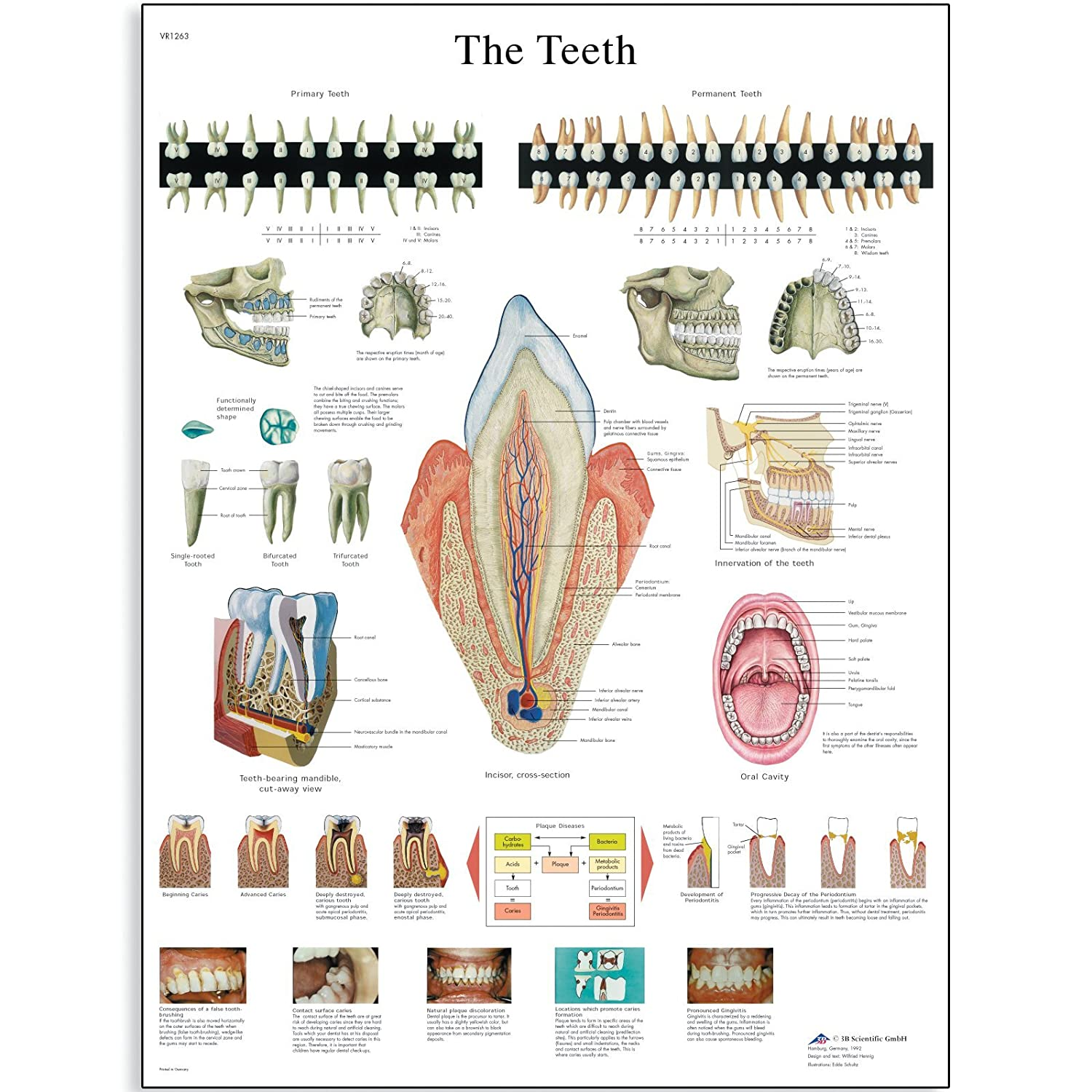 Amazon 3b Scientific Vr1263l Glossy Laminated Paper The Teeth