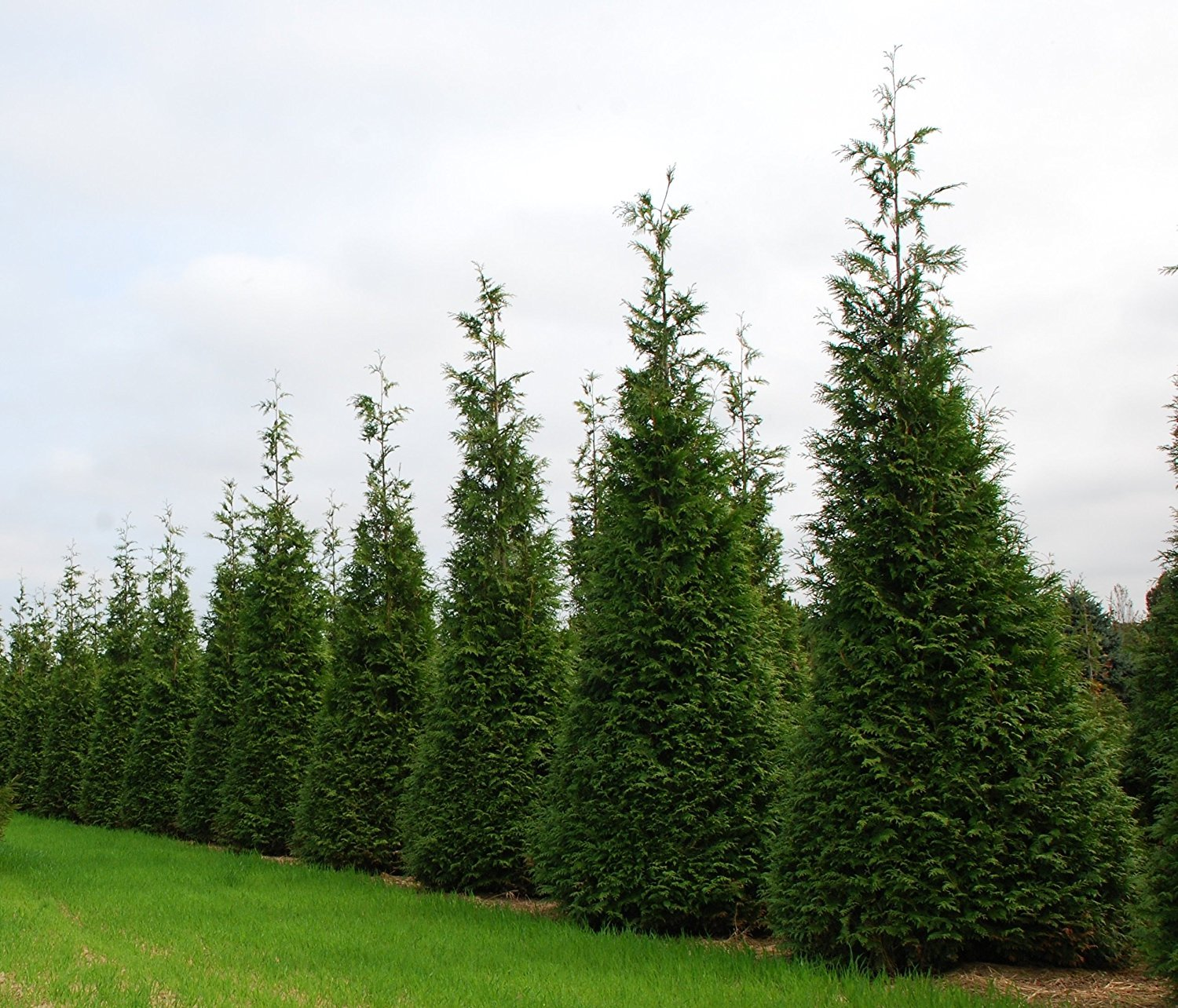 Thuja Green Giant Arborvitae Qty 5 Live Trees Evergreen Privacy - 2'' Container