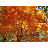 Tree Seeds Online - Acer Saccharum- Arce Sirope 25 Semillas - 1 Paquete