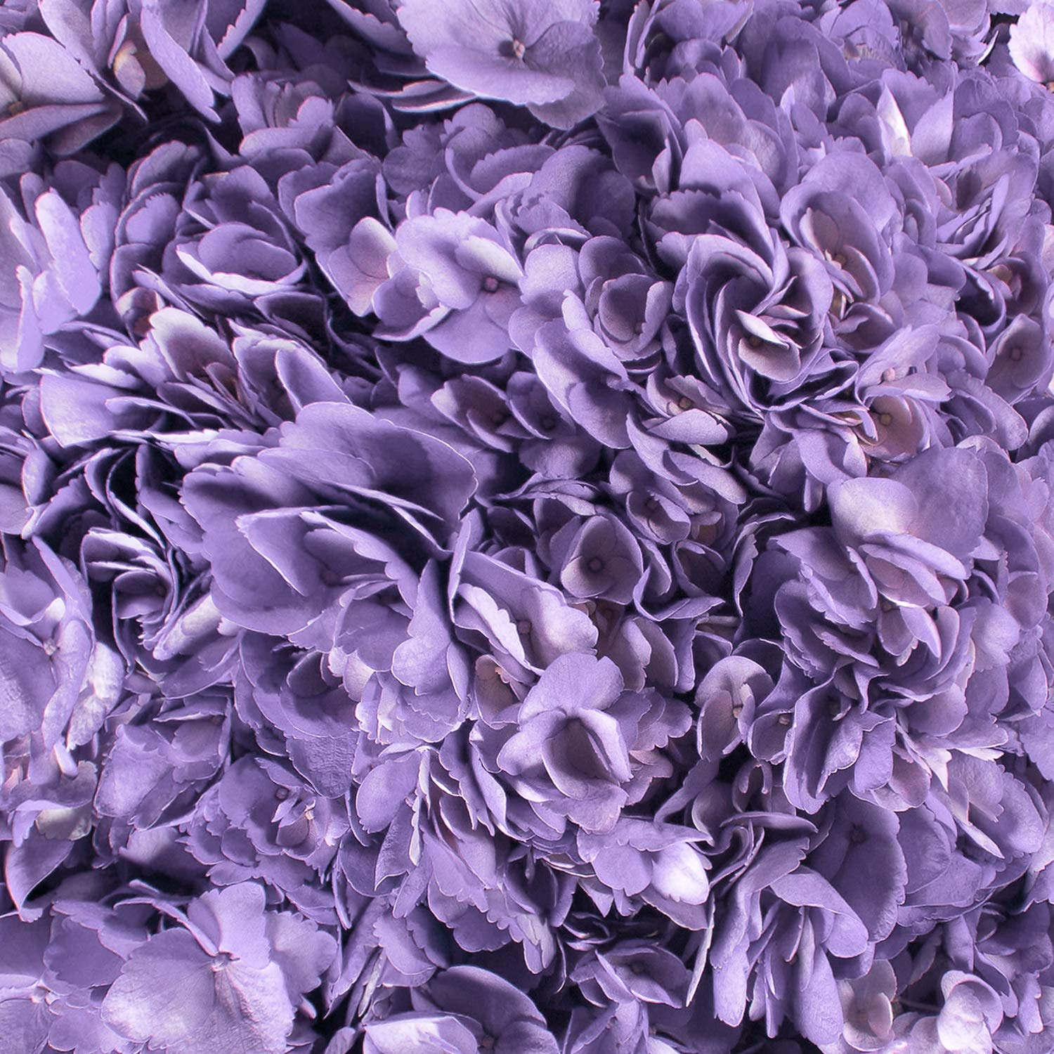 Farm Fresh Natural Painted Lavender Hydrangeas - Pack 15 by Bloomingmore (Image #4)