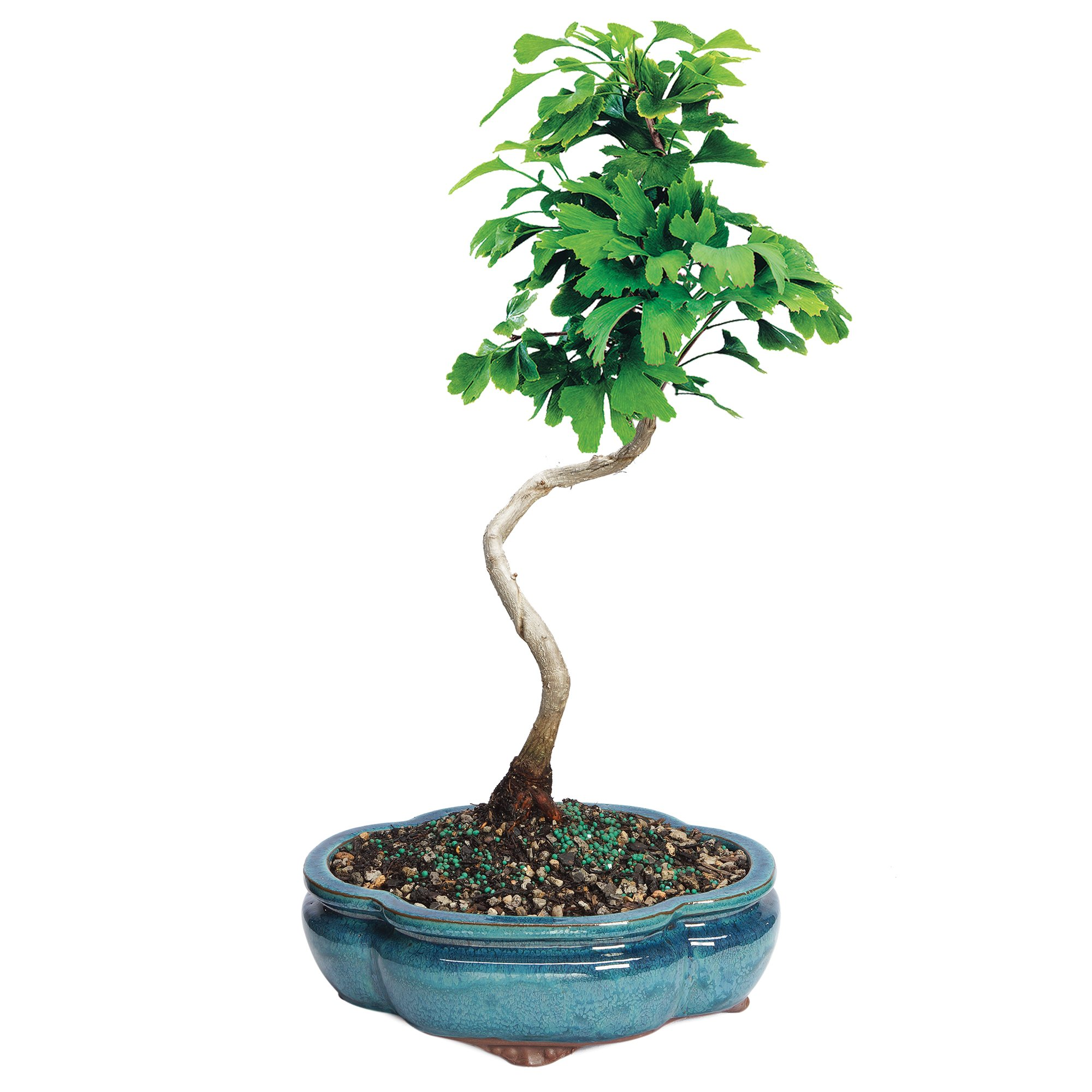 Brussel's Live Ginkgo Outdoor Bonsai Tree - 5 Years Old; 10'' to 12'' Tall with Decorative Container